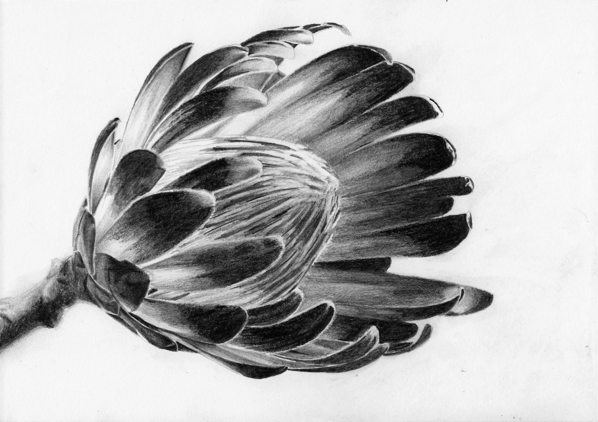 How To Draw A Protea Flower Online Art Lessons