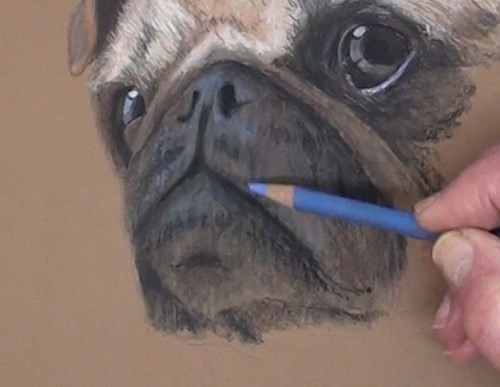 how-to-draw-a-pug-portrait-in-pastel-mouth-nose