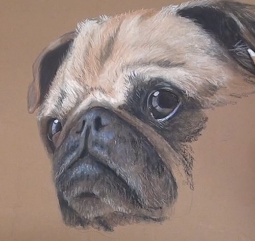 how-to-draw-a-pug-portrait-in-pastel-completing-face