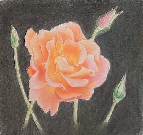 how-to-draw-a-rose-in-colored-pencils-colored-background