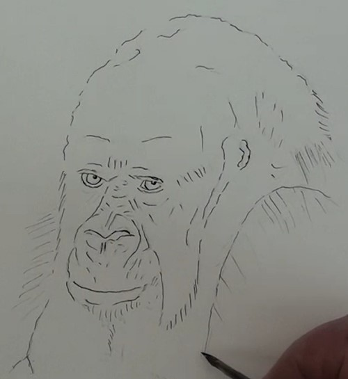 how-to-draw-a-gorilla-in-pen-and-ink-outlines