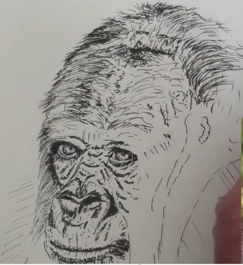 how-to-draw-a-gorilla-in-pen-and-ink-top-head