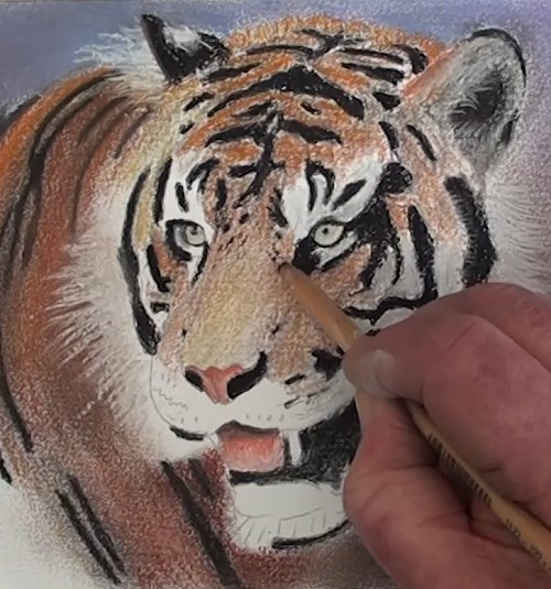 how-to-draw-a-tiger-portrait-in-pastel-body-ears