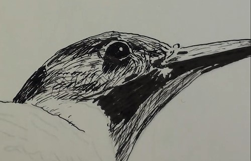 how-to-draw-a-northern-flicker-bird-in-pen-and-ink-outlines-head