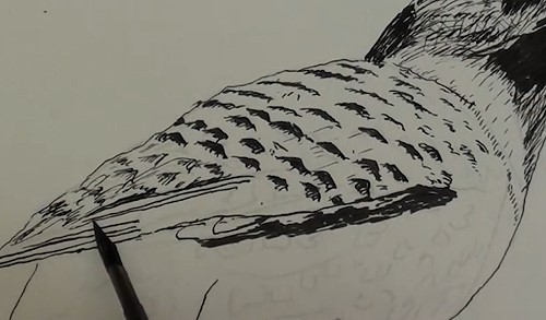 how-to-draw-a-northern-flicker-bird-in-pen-and-ink-wing
