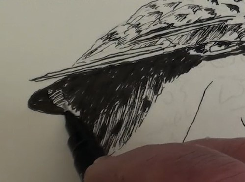 how-to-draw-a-northern-flicker-bird-in-pen-and-ink-wing-tip-shadow