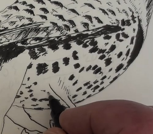 how-to-draw-a-northern-flicker-bird-in-pen-and-ink-belly
