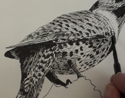 how-to-draw-a-northern-flicker-bird-in-pen-and-ink-body-shading