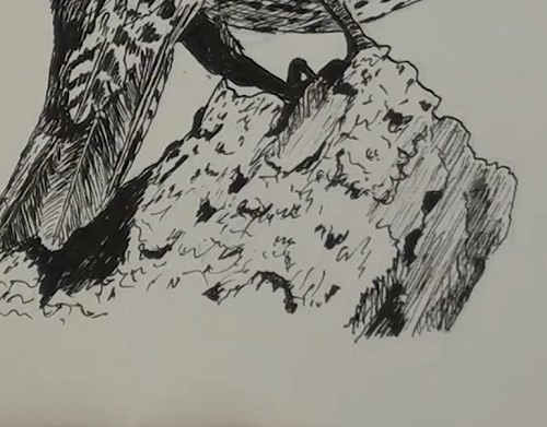 how-to-draw-a-northern-flicker-bird-in-pen-and-ink-stump