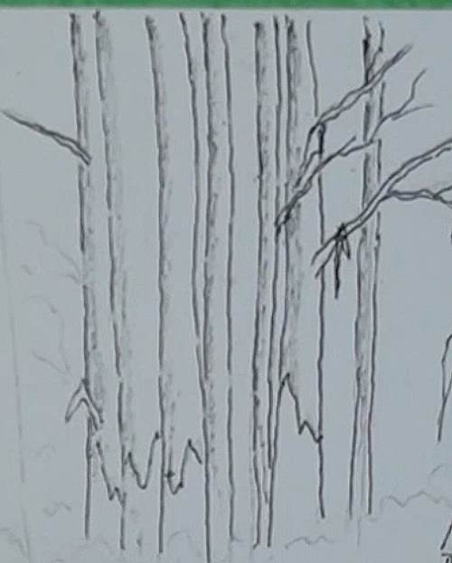 sketching the distant bluegum trees of the bluegum trees in the forest in watercolor