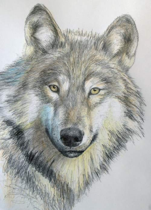 final drawing of the wolf