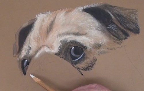 how-to-draw-a-pug-portrait-in-pastel-detail-forehead