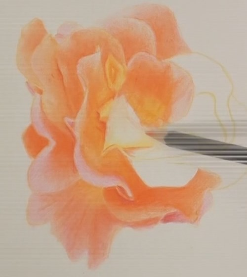 how-to-draw-a-rose-in-colored-pencils-drawing-petal-for-petal