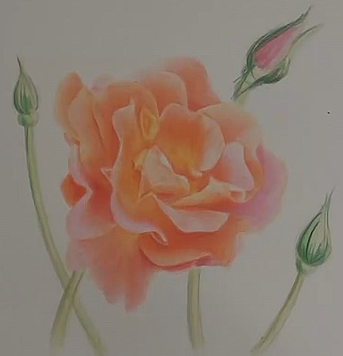 how-to-draw-a-rose-in-colored-pencils-stems