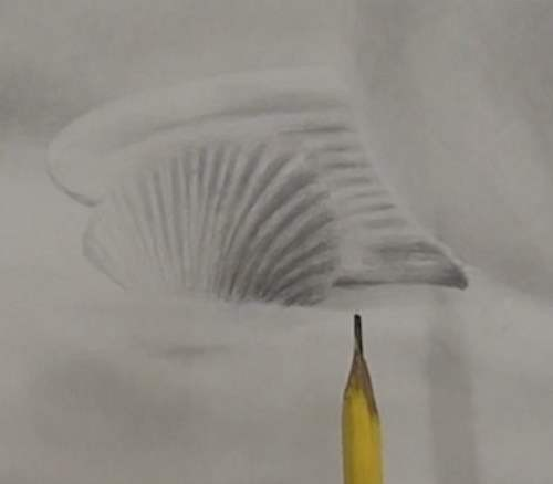 how-to-draw-seashells-in-pencil-shading-front-sea-shell
