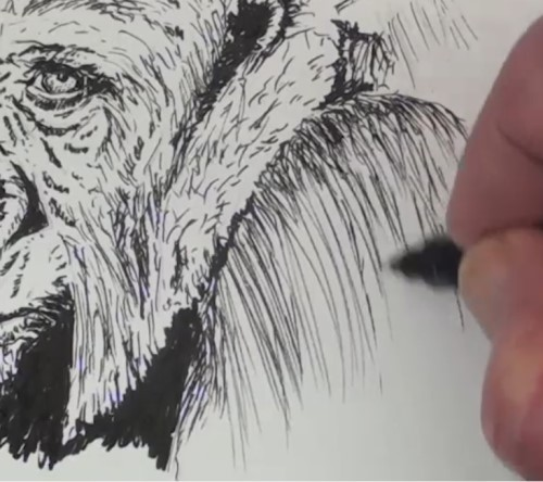 how-to-draw-a-gorilla-in-pen-and-ink-shoulder