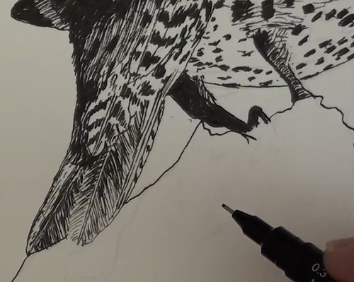 how-to-draw-a-northern-flicker-bird-in-pen-and-ink-legs-tail