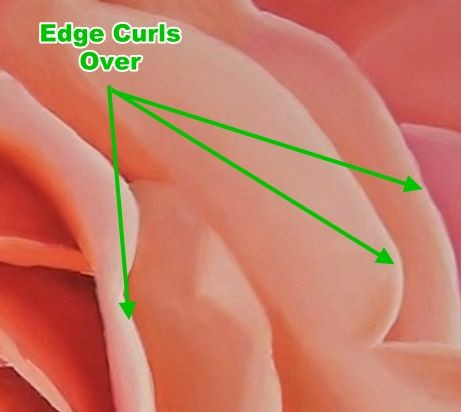 painted rose petals showing edges curling over